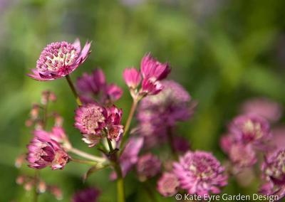 Astrantia flowers, Huf House Garden Design, Dulwich, 12
